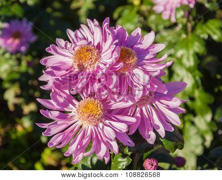 Bright pink chrysanthemums