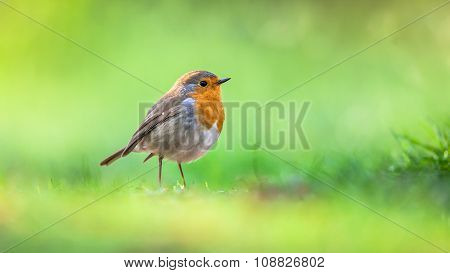 Robin On Vivid Green Background