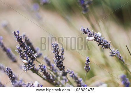 Lavander In Field Of Provence