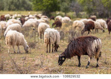 Organic Sheep Farming