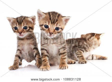 Three  kitten isolated