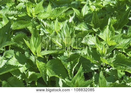 Green nettle plants