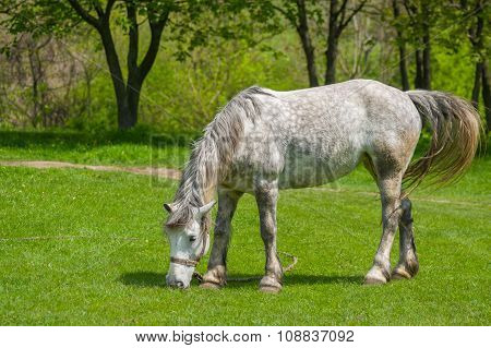 Dappled mare at spring pasture