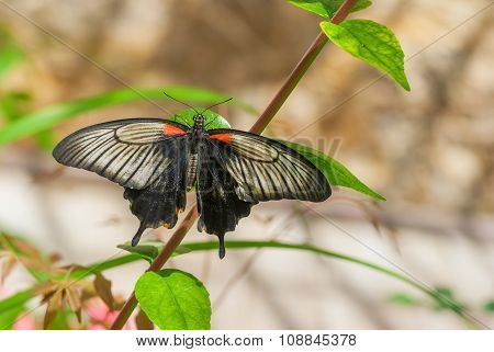 Great Mormon butterfly in native habitat