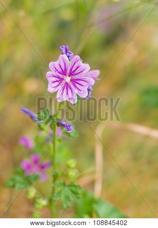 Common mallow flower in wild field