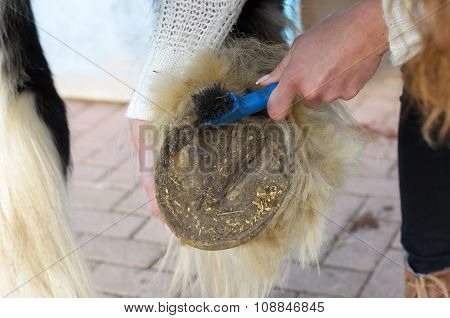 Woman Cleans The Horse's Hooves