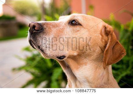 Labrador Dog Looking Into Distance