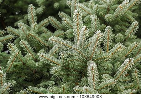 fir-tree branches in frost, beautiful winter background
