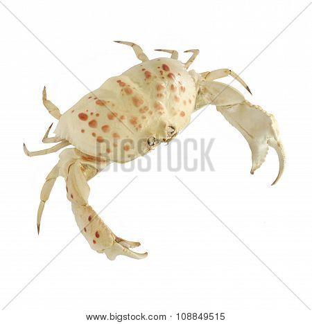 White Crab.