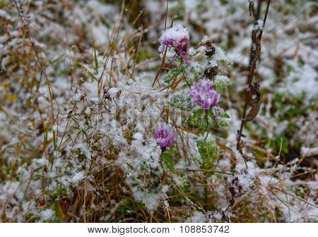 Meadow Flowers Covered With Snow. Nature And Seasons