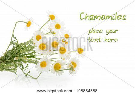 Chamomiles Isolated On White Background
