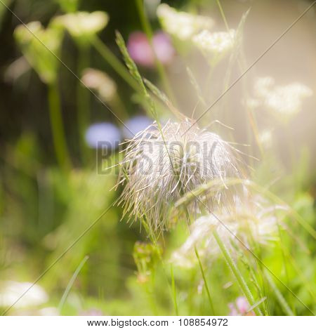 Seed Heads of European Pasqueflower