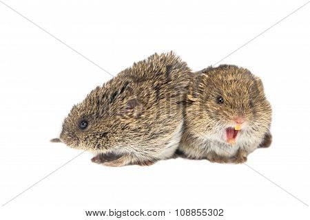 Couple Of Common Vole