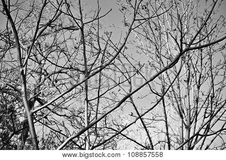Dense Bare Branches