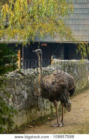Ostrich near stone fence