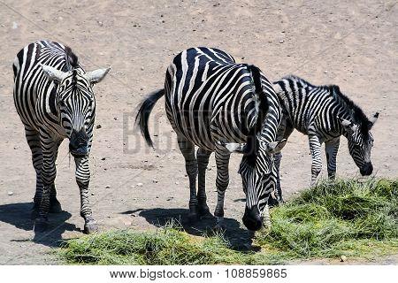 Zebra family.