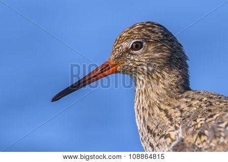 Common Redshank Head