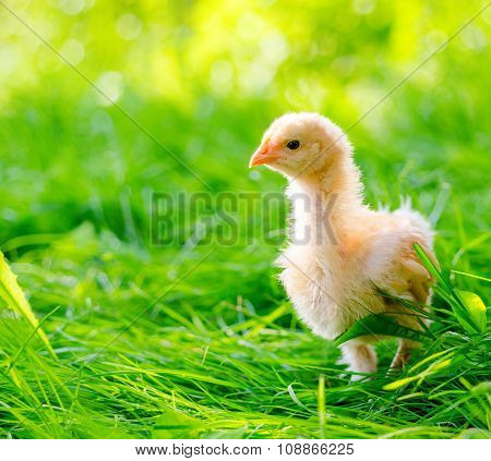 chickens on a grass