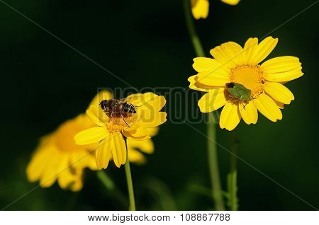 Insects on yellow flowers.