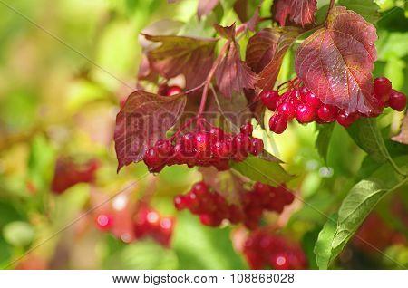 Bunches of red viburnum.