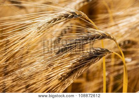 a cornfield with barley ready for harvest. photo icon for agriculture and healthy eating.