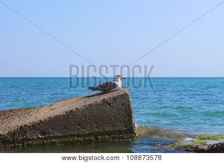 Water Seagull sitting on a rock