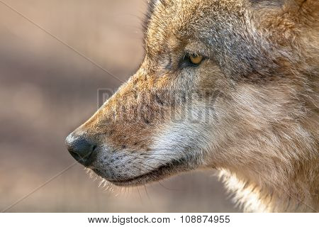 Snout Of A  Grey Wolf