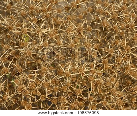 Close-up Of Dried Field Eryngo Plant As Background.