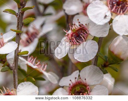 Group Of Manuka Flowers
