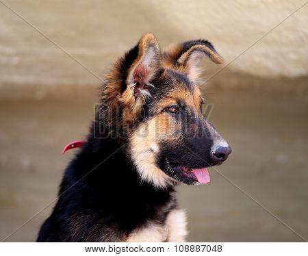 Beautiful Puppy Dog Shepherd
