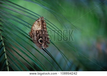 Owl butterfly sitting on a palm