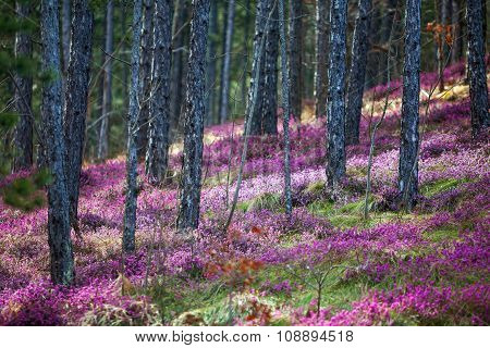 Forest Heather