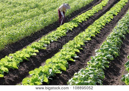 farmer spraying vegetables