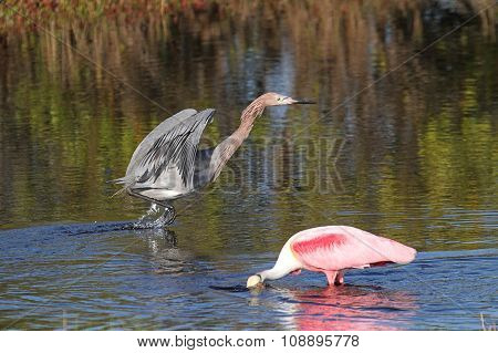 Roseate Spoonbill And Reddish Egretin Water