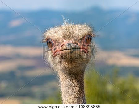 Potrait Of An Ostrich Head In Natural Environment