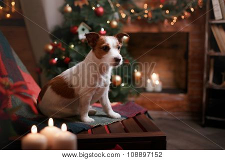 Dog Jack Russell Terrier Holiday