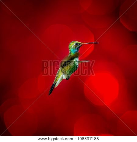 Broad Billed Hummingbird against a festive background.