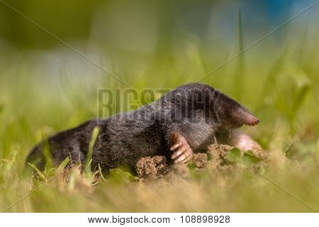 Wild Mole (talpa Europaea) In A Field Of Grass