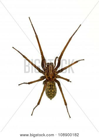 Creepy House Spider Isolated On White