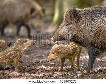 Family Wild Boar