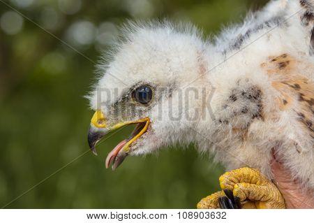 Buzzard Chick Portrait