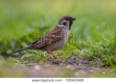 Alerted Tree Sparrow