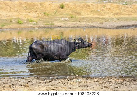 Water Buffalo Relaxes In The Lake