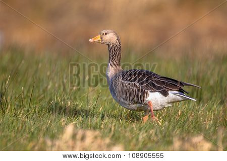 Greylag Goose Anser Anser Walking Through Grass