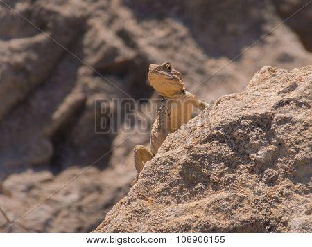 Lizard On Rocks