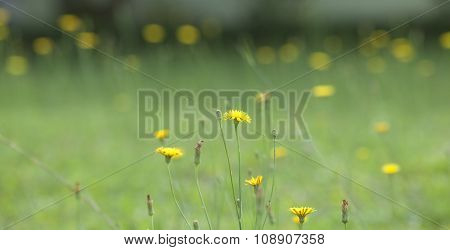 Wild yellow flower on green grass. Dandelion background