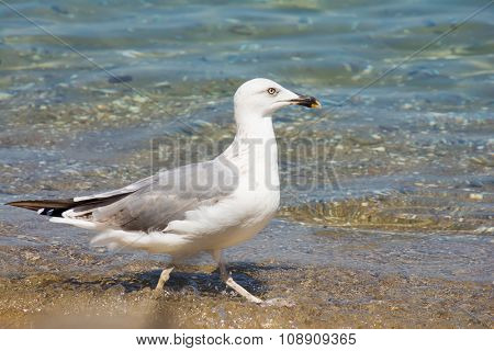 Seagull in a shallow of the sea