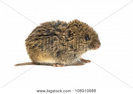 Common Vole On White