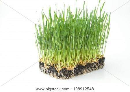 Young seedlings of green wheat sprouts