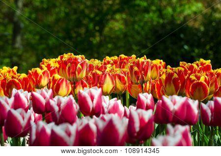 Tulip In Dutch Spring Garden Keukenhof
